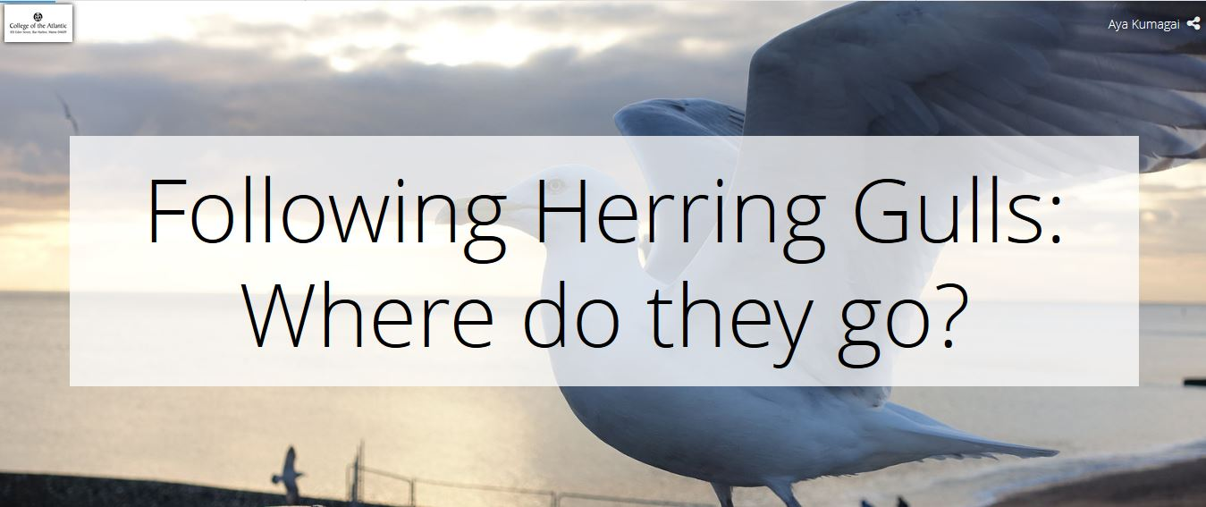 Following Herring Gulls: Where do they go?
